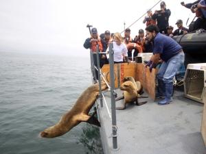 ORCA_SeisLobosMarinos_27sep13(27)