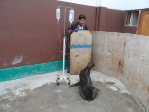 Drip Treatment given to Chocolate the sea-lion