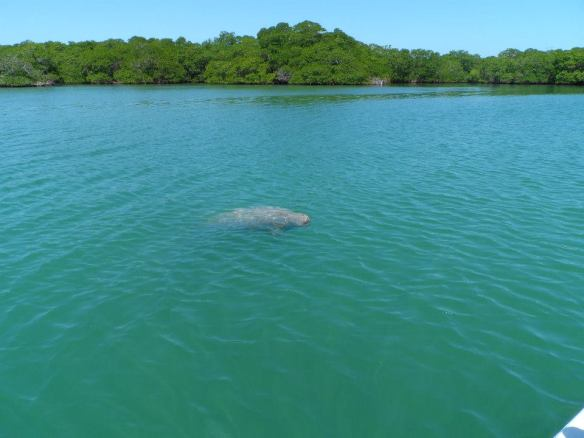 Manatee Spotted!